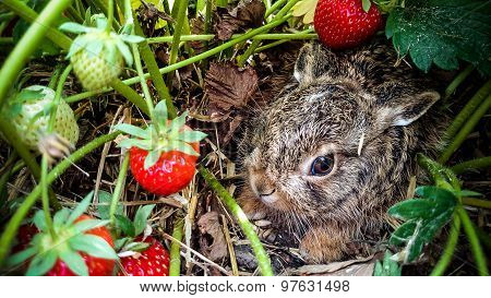 Grey Hare Among Ripe Strawberries