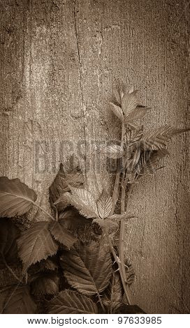 Blackberry Branch On Old Wooden