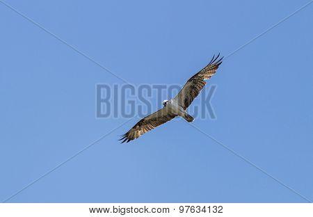 Male osprey bird, Pandion haliaetus