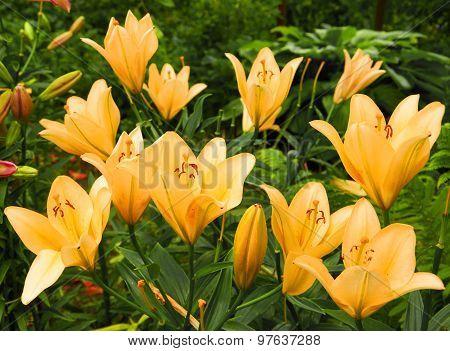 Bright Orange Bush Of Lily