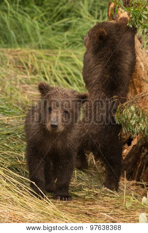 Bear Cub Looking At Camera Beside Another