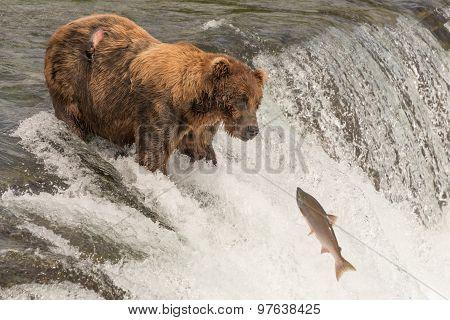 Bear On Waterfall Stares At Jumping Salmon