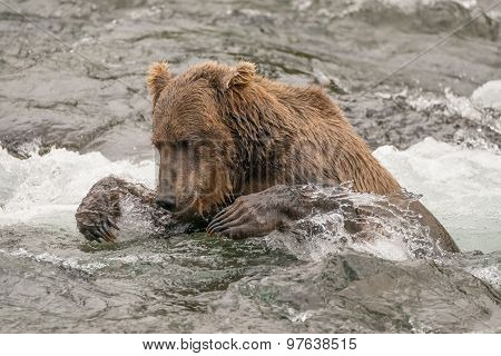 Bear Tries To Catch Salmon In River