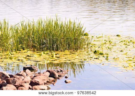 Reeds And Waterlilies In The River