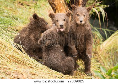 Brown Bear Cub Standing Beside Three Siblings