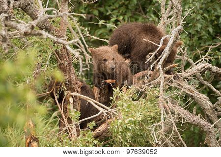 Brown Bear Cub Resting In Dead Tree