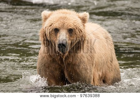 Brown Bear In River From The Front