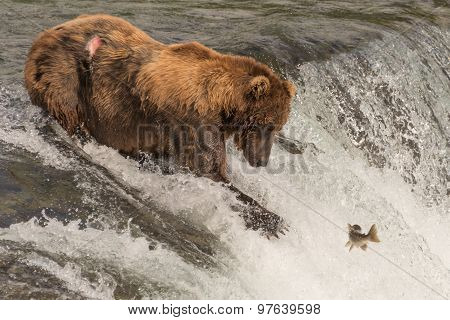 Brown Bear On Waterfall Stares At Salmon