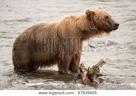 Brown Bear Standing Beside Log In River
