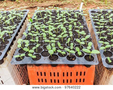 Melon, Cucumber Or Cucumbid Seedling In Pod Or Plastic Tray.