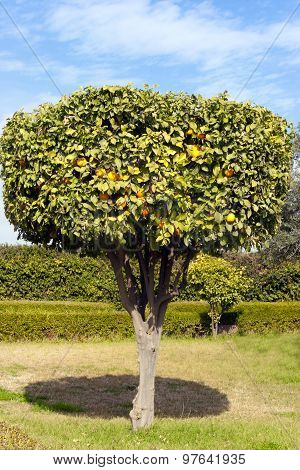 Ornamental orange tree full of ripe fruits on its branches in a orange grove