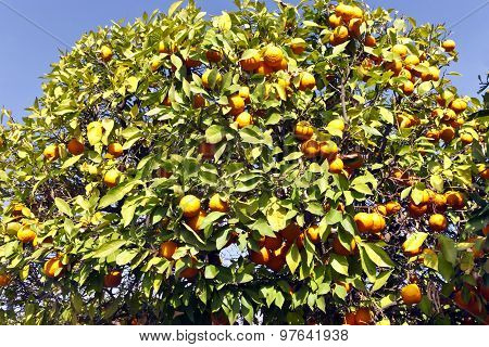 Branches full of juicy oranges on a tree in an orange grove