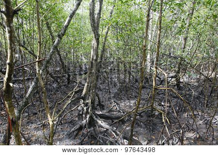 Mangue, Tropical Ecosystem