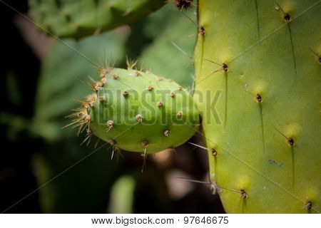 Barbary Fig