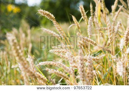 Close-up of ripe wheat ears