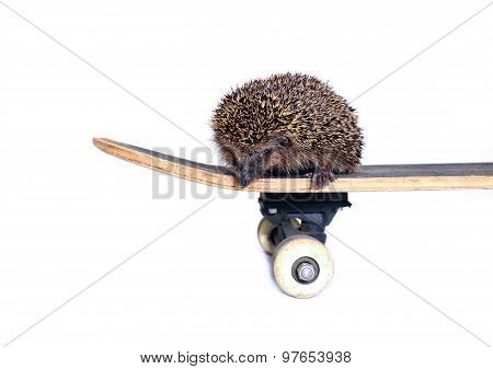 Little Forest Hedgehog On A Skateboard Isolated