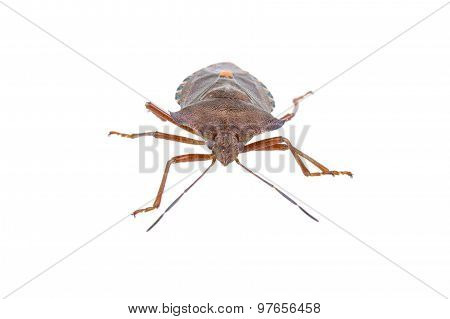 Shield Bug On A White Background