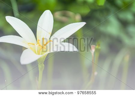 White Rain Lily, Zephyranthes Candida,the Rain Lilies A Color Adjustment In Soft Style For Backgroun