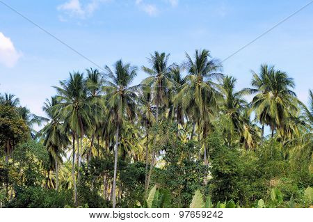 Farm. Coconut trees. Tropics. Palawan Island. Philippines.