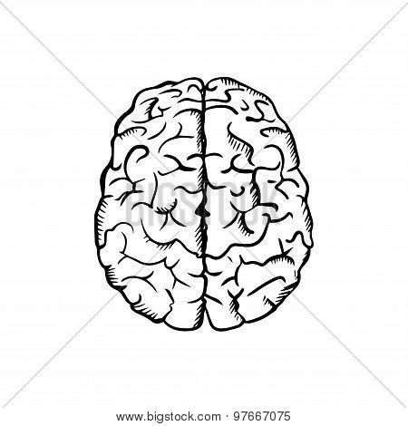 Human brain sketch in ouline style