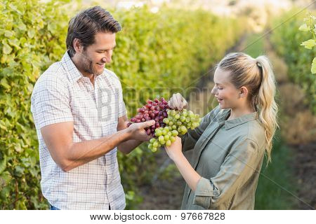 Two young happy vintners holding grapes in the grape fields