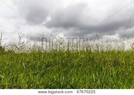 Monsoon climate concepts ~ Excessive wild grass growth on a farmland captured on a cloudy morning