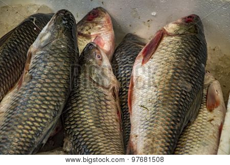 Rohu Fish In The Box