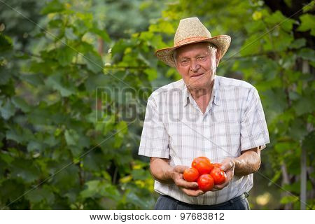 Old man holding tomatoes. The elderly man grows tomatoes in his garden