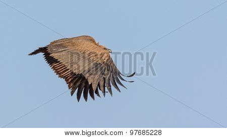 Juvenile White-backed Vulture In Flight