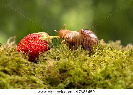 The Snail Trails Of Ripe Strawberries On The Green Grass