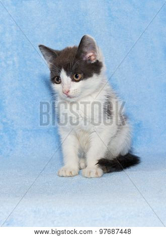 Little Kitten Calico Kitten