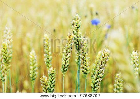 Cornflowers In  Wheat Field