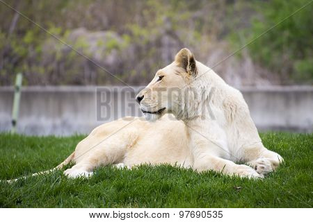 White lioness resting on the grass, taken at the toronto zoo