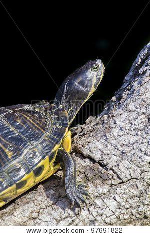 Pond Slider Turtles On A Branch, Black Background