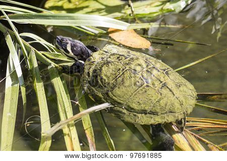 Pond Slider Turtle Swimming Between The Vegetation