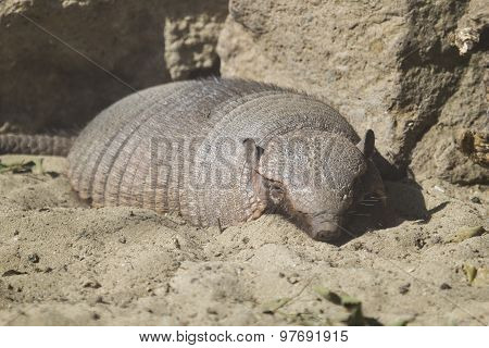 Large Hairy Armadillo Resting