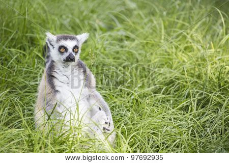 Ring-tailed Lemur In The Grass