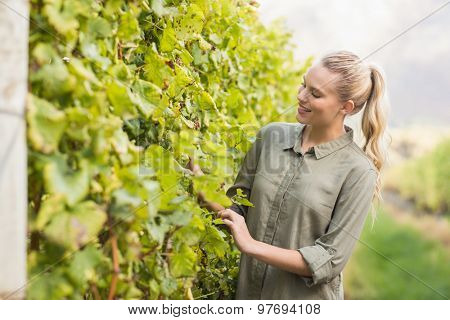 Young happy vintner looking at the grapes in the grape fields