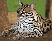 pic of ocelot  - Margay cat or Caucel lying on ground feline reserve nicaragua central america - JPG