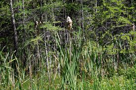 stock photo of cattail  - A common cattail  - JPG