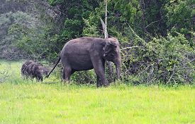 pic of indian elephant  - Indian elephants in the wild natural habitat - JPG