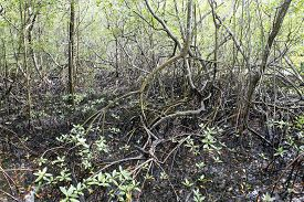 foto of ecosystem  - view of mangue - JPG