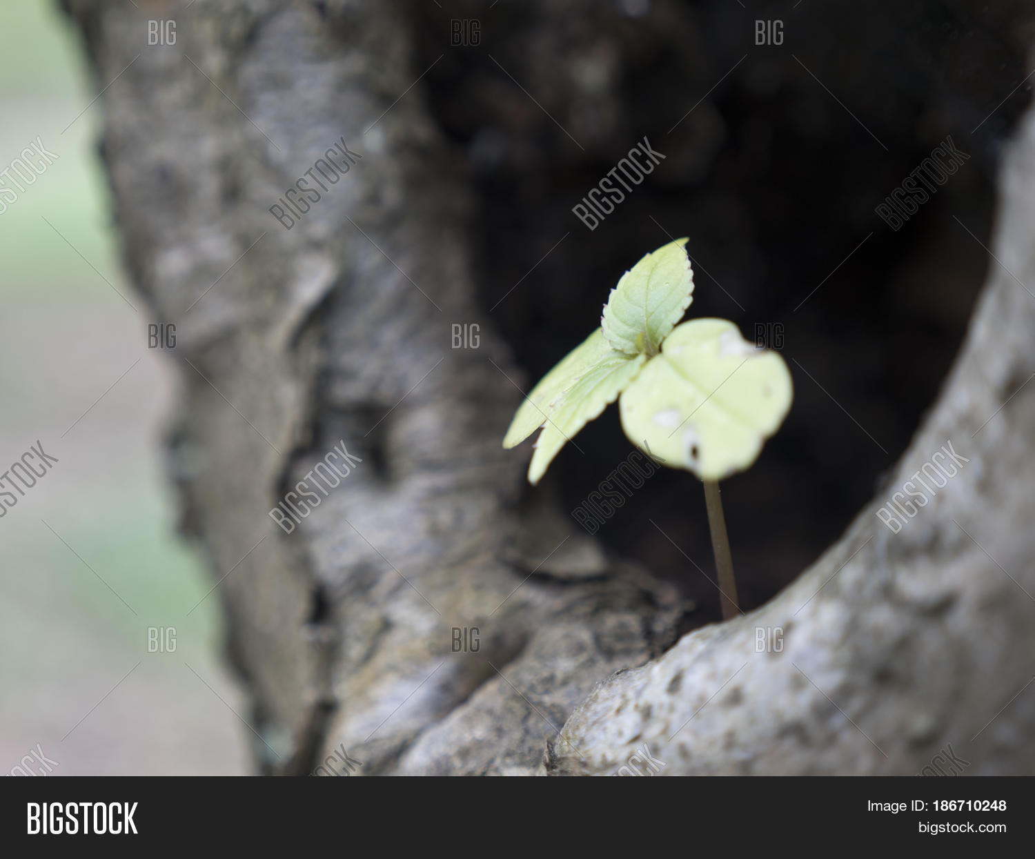 Small sprouting plant leaves image photo bigstock small sprouting plant with leaves in the embrace of tree little green spruce tree is biocorpaavc Image collections