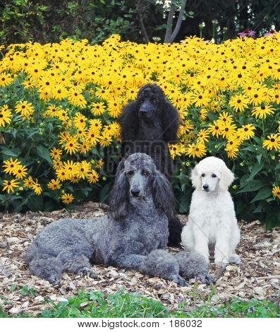 Three Standard Poodles