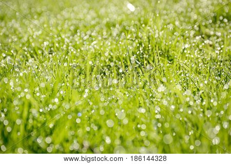 Green grass background with early morning dew.