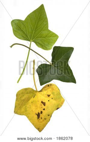 Ivy Leaf Lifecycle