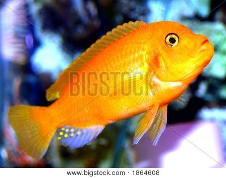 Freshwater Cichlid