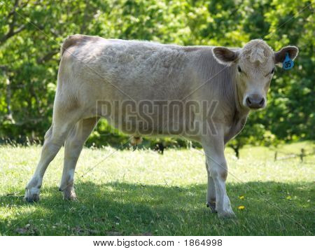 Posing Teen Cow In The Shade