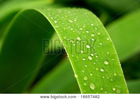 Gentile leaf and drops. Nature composition.