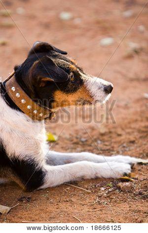 cute Jack Russel dog resting